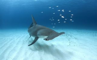 Картинка Bahamas, Great Hammerhead Shark, Bimini