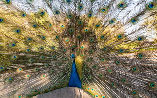 Картинка Peacock, Bird, Nature