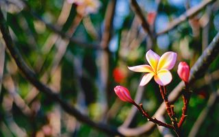 Картинка Цветок, Plumeria, flower, the Sunset, макро, Tri-color