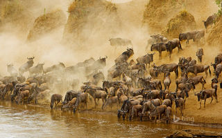 Обои Masai Mara National Reserve, Кения, антилопа, Африка, река, Масаи Мара, гну