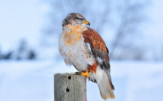 Обои Ferruginous hawk, птица, природа