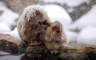 Картинка природа, Japan, Snow monkey, Nagano