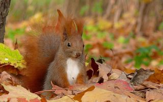 Обои squirrel, листья, Белка, осень