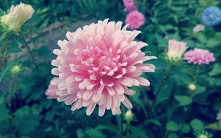 Обои цветы, астра, flower, pink, nature, beautiful, aster