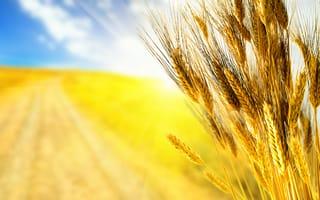 Картинка макро, осень, небо, трава, колосок, природа, колосья, зерна, поле, урожай, желтые, желтый, свет, хлеб, лучи, fields, посев, нива, зерно, дорога, поля, фокус, пшеница, осенние, колоски, жатва, с природой, autumn