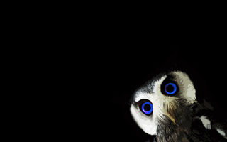 Обои owl, black, animals, black, blue eyes, minimalism