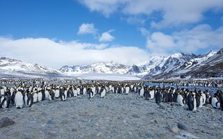 Картинка Southern Ocean, Few King Penguins, South Georgia, St. Andrews Bay