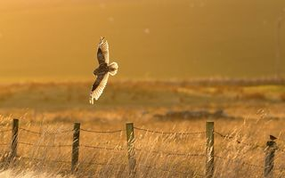 Обои bird, countryside, owl, fence, sunny, hunting