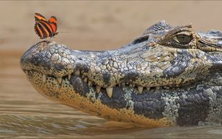 Картинка butterfly, crocodile, Animals, two, other