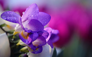 Обои Li Feng, flower, вода, water, цветок, фрезия, nature, капли, drops, tender, HD, Purple Freesia, природа
