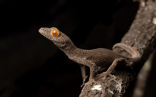 Картинка природа, Strophurus taenicauda, Central golden tailed gecko