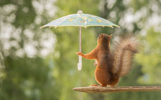 Картинка squirrel, pose, branch, umbrellas