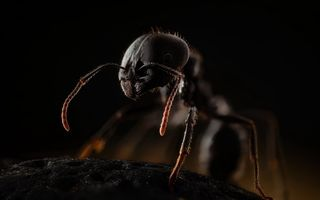 Обои insects, ants, himenoptera, messor