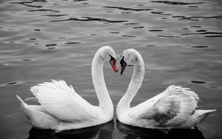 Обои Two, birds, water, bird, swan, love, neck, river, prague