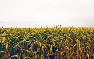 Картинка поле, колосья, посевы, нива, пшеница