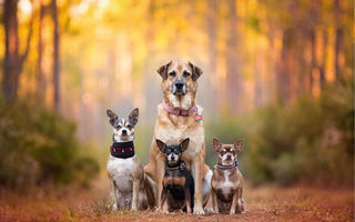 Картинка собаки, Семья, bokeh, dog breath, chihuahua, dog family, пинчер, cute dogs, Kaylee Greer