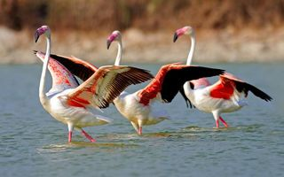 Картинка Flamingo, Birds