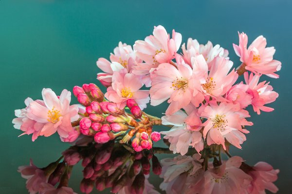 Обои cherry, stamens, mirror, buds, petals, blossoms, reflection