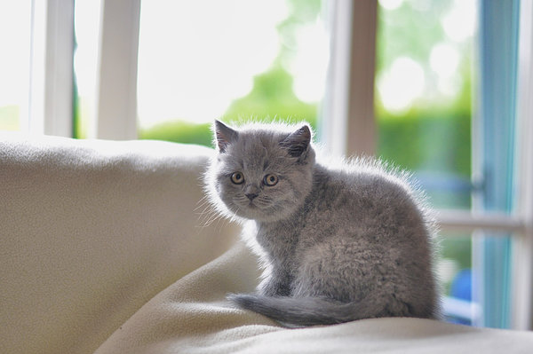 Обои kitten, shorthair, british