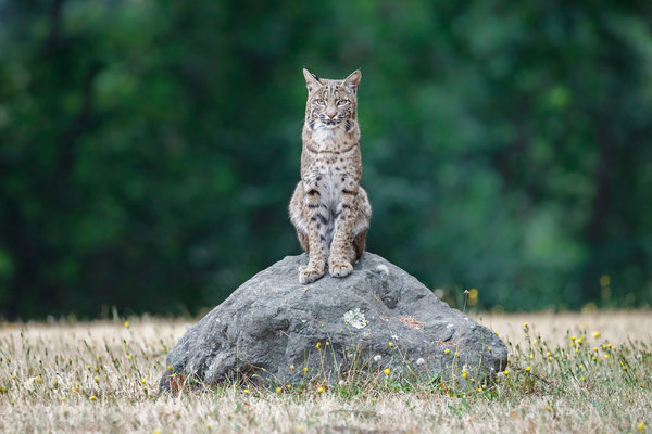 Обои рыжая рысь, Lynx Rufus, USA, California, bobcat