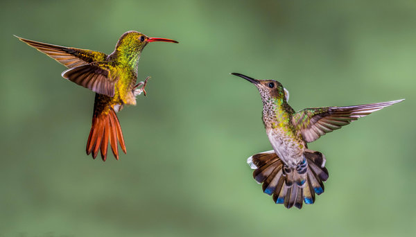 Обои колибри, hummingbirds, Costa Rica, макро