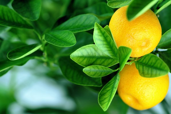 Обои fruits, апельсины, oranges, leaves