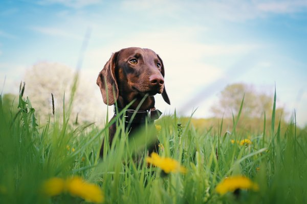 Обои grass, flowers, dachshund, dog