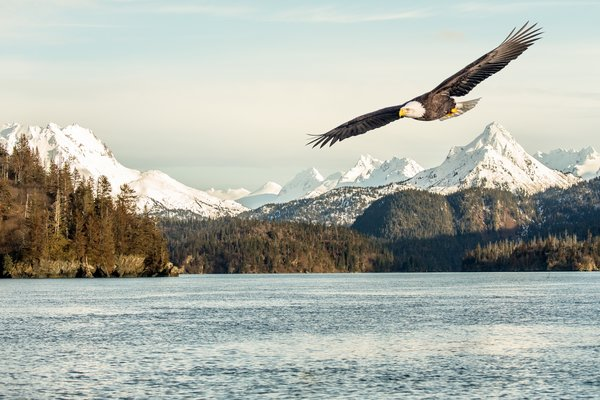 Обои sunlight, flight, mountains, bald eagle, snow, bird, sea, flying