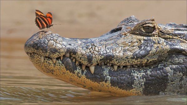 Обои butterfly, crocodile, Animals, two, other