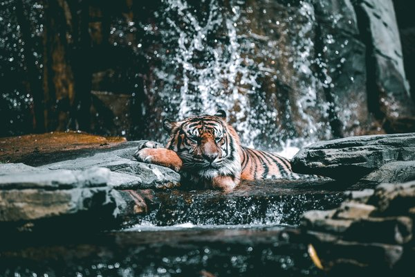 Обои Tiger, cat, #Relax, stones, water, drops